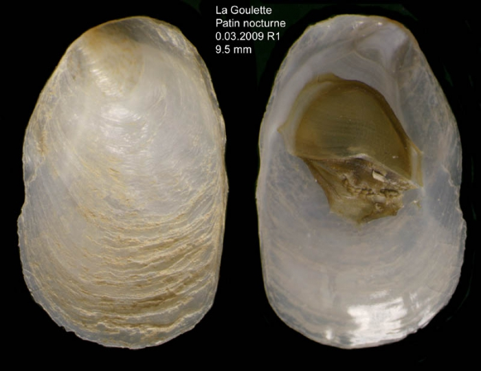 Crepidula unguiformis Lamarck, 1822Specimens from La Goulette, Tunisia (among seagrass Cymodocea nodosa, 30.03.2009), actual size 9.5 mm mm.