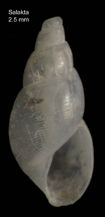 Ondina scandens (Monterosato, 1884)Shell from Salakta, Tunisia, actual size 2.5 mm.