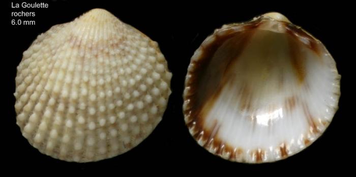 Papillicardium papillosum (Poli, 1795)Specimen from La Goulette, Tunisia (among algae 0-1 m, 22.06.2008), actual size 6.0 mm