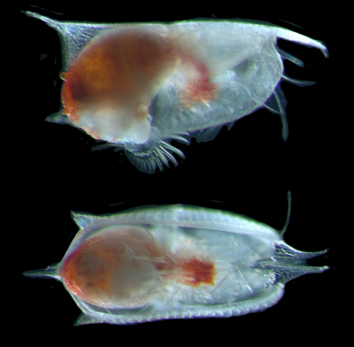 Conchoecissa imbricata female