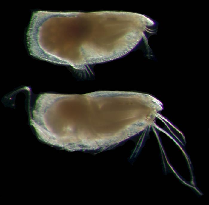 Discoconchoecia aff. elegans Sars
