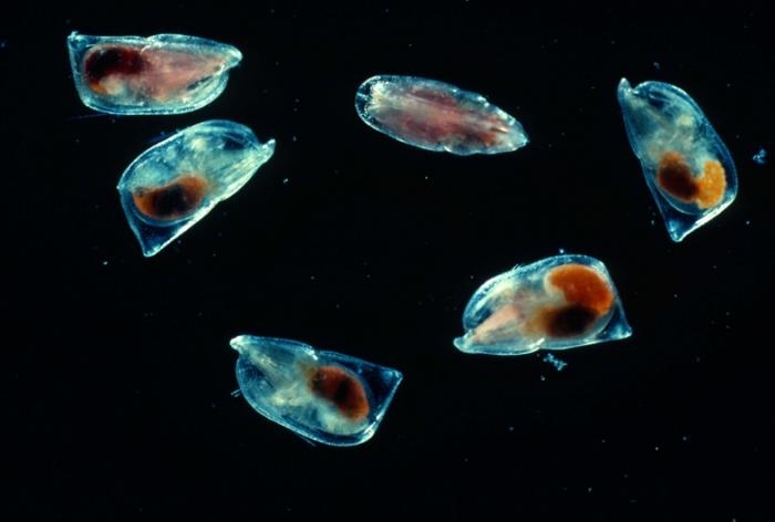 Orthoconchoecia atlantica
