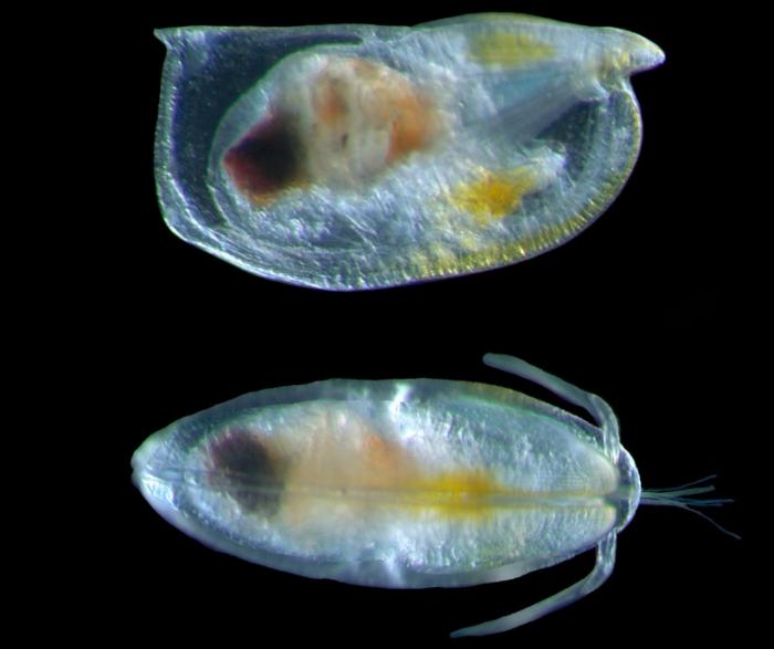 Orthoconchoecia bispinosa