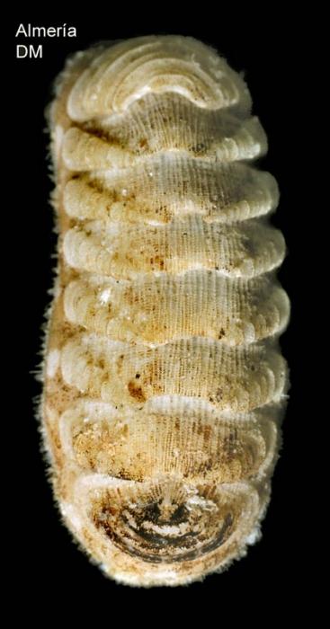 Lepidopleurus cajetanus (Poli, 1791)Specimen from Calón, Almería, Spain (actual size 5.0 mm).