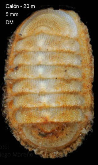 Leptochiton cancellatus (Sowerby, 1840)Specimen from Calón, Almería, Spain (actual size 5.0 mm).
