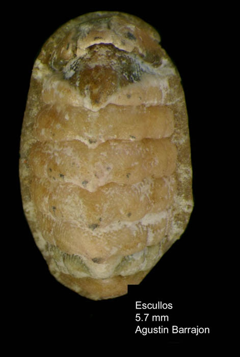 Lepidochitona monterosatoi Kaas &amp; Van Belle, 1981Specimen from Los Escullos, Almera, Spain (actual size 5.7 mm).
