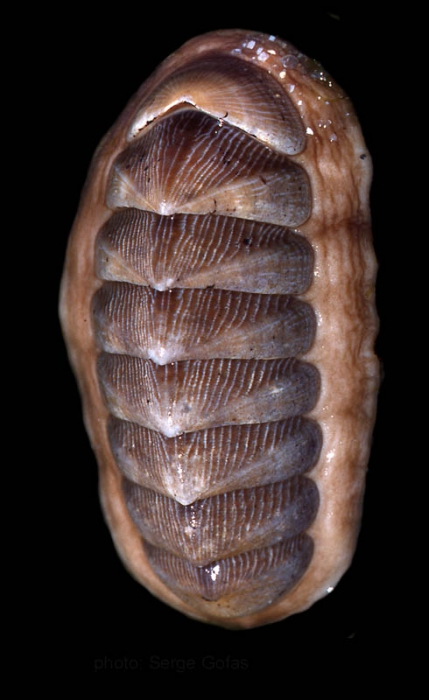 Chaetopleura angulata (Spengler, 1797)Specimen from SW Spain (actual size 50 mm).