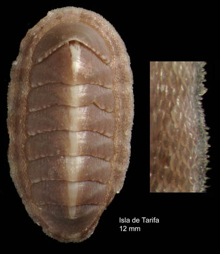 Chiton phaseolinus di Monterosato, 1879Specimen from Isla de Tarifa, Spain (actual size 11.5 mm).