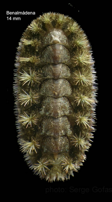 Acanthochitona crinita (Pennant, 1777)Specimen from Benalmádena, Spain (actual size 14 mm).