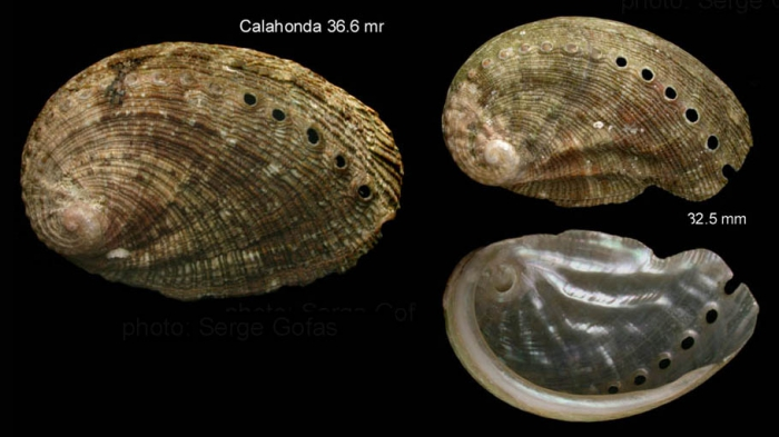 Haliotis tuberculata Linnaeus, 1758Specimens from Calahonda, Málaga, Spain (actual sizes 36.6 and 32.5 mm).