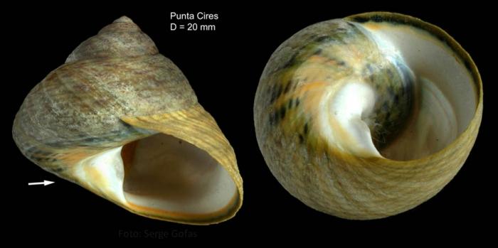 Osilinus sauciatus (Koch, 1845) Specimen from Punta Cires, Morocco (actual size 20 mm)