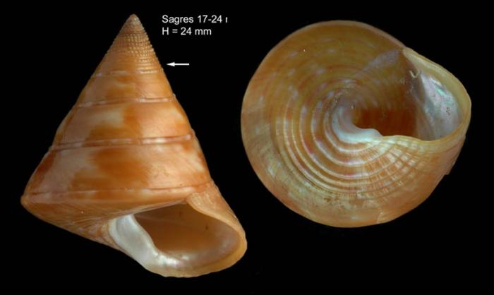 Calliostoma conulus (Linnaeus, 1758)Specimen from Sagres, Portugal (actual size 24 mm).