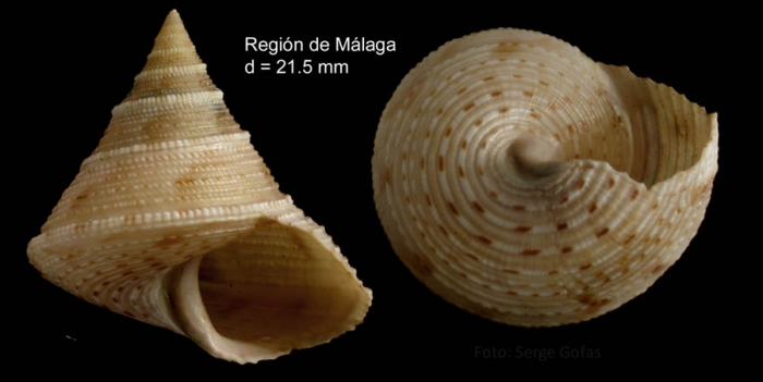 Calliostoma granulatum (Born, 1778)Specimen from Málaga province, Spain (actual size 21.5 mm).