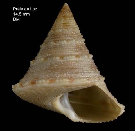 Calliostoma gubbiolii Nofroni, 1984Specimen from Praia da Luz, Portugal (actual size 14.5 mm).