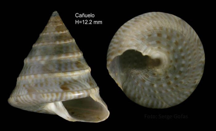 Calliostoma planatum Pallary, 1900Specimen from Cañuelo, Málaga, Spain (actual size 12.2 mm).