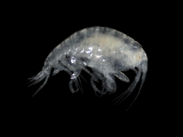 Stenothoe marina (Bate, 1856)