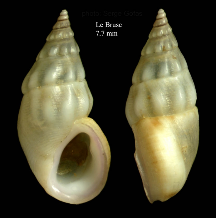 Rissoa ventricosa Desmarest, 1814Specimen from Le Brusc, France (actual size 7.7 mm).
