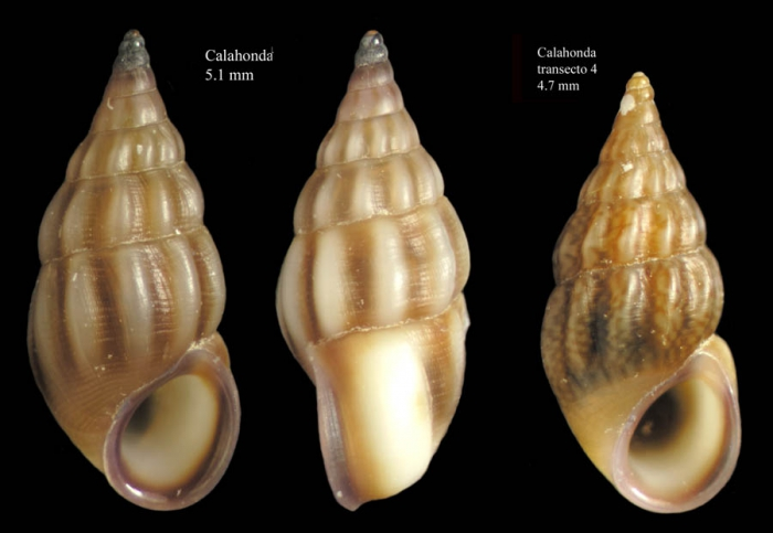 Rissoa guerinii Récluz, 1843Specimens from Calahonda, Málaga, Spain (actual sizes 5.1 and 4.7 mm).