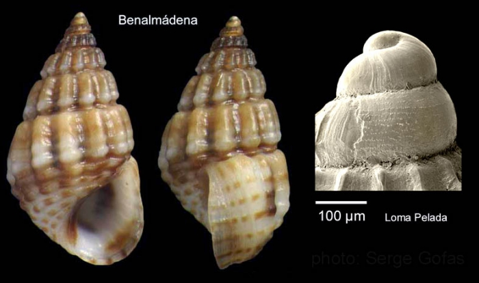 Alvania montagui (Payraudeau, 1826)Specimen from Benalmádena, Spain (actual size 4.5 mm), and protoconch of a specimen from Cabo de Gata, Spain.