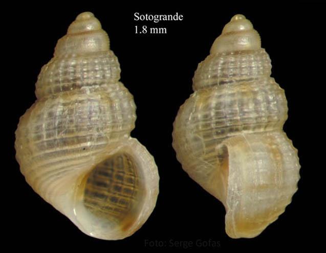 Alvania punctura (Montagu, 1803) Specimen from Sotogrande, Cádiz (actual size 1.8 mm).