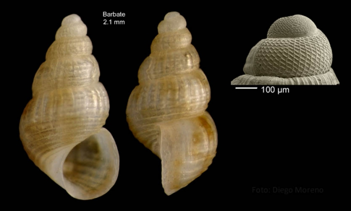 Alvania vermaasi van Aartsen, 1975Specimen from Barbate, Spain (actual size 2.1 mm), and protoconch of a shell from Xauen bank (170 m), Alboran sea.