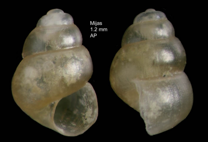 Obtusella macilenta (Monterosato, 1880)Shell from Mijas, Mlaga, Spain (actual size 1.2 mm).