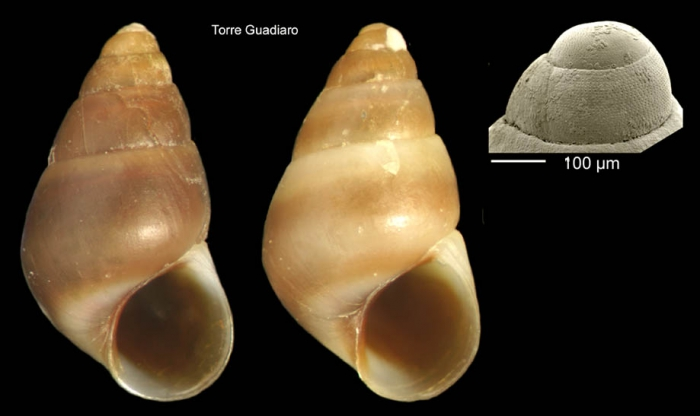 Barleeia unifasciata (Montagu, 1803)Specimen from Torre Guadiaro, Cádiz, Spain (actual size 2.7 mm), and protoconch of a specimen from Torre de la Peña, Tarifa, Spain