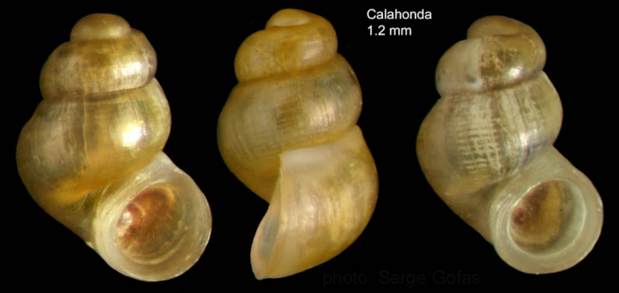 Nodulus contortus (Jeffreys, 1856)Specimen from Calahonda, Málaga, Spain (actual size 1.2 mm).