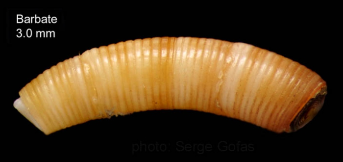 Caecum trachea (Montagu, 1803)Specimen from Barbate, Spain (actual size 3.0 mm).