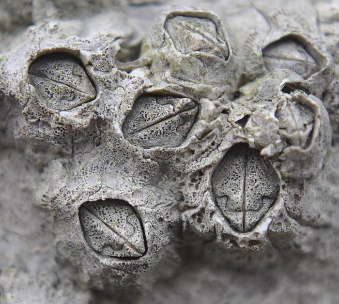 Pyrenocollema halodytes