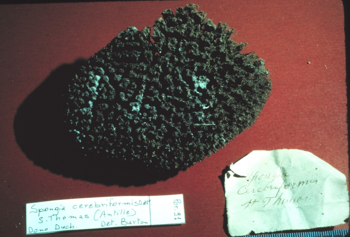 Spongia cerebriformis lectotype specimen