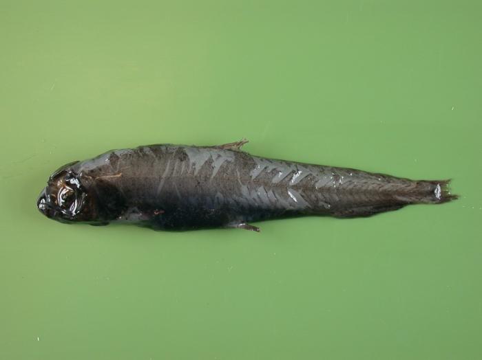 Bathylagus euryops