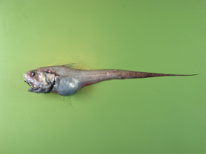 Coryphaenoides brevibarbata
