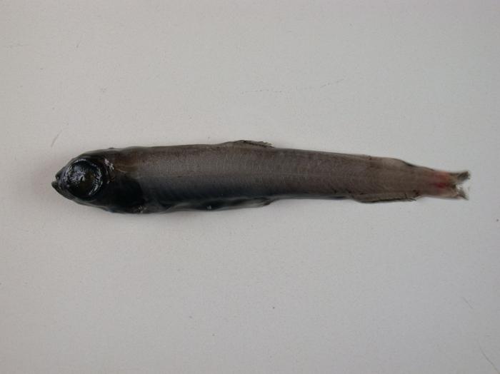 Melanolagus berycoides