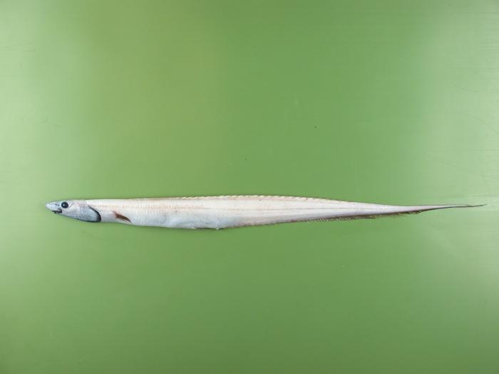 Polyacanthonotus challengeri