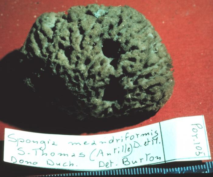 Spongia meandriformis lectotype specimen