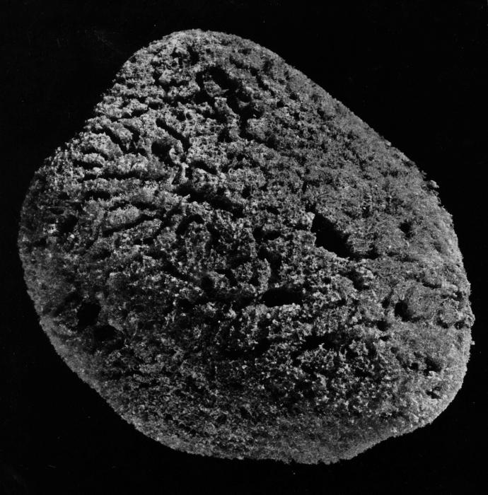Spongia meandriformis paralectotype specimen