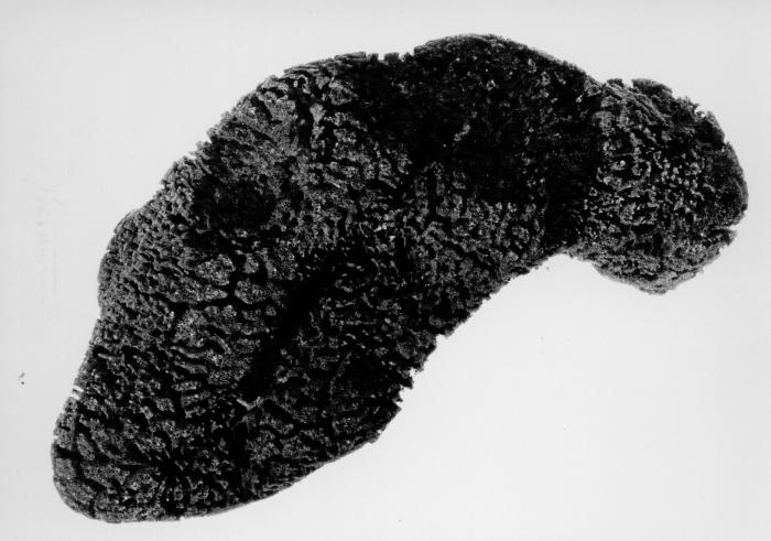Spongia vermiculata lectotype specimen