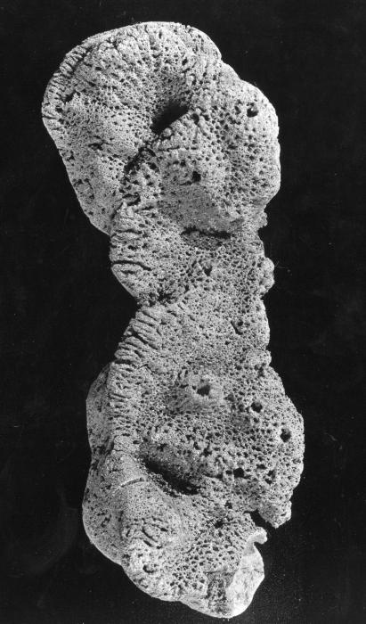 Spongia fusca lectotype specimen
