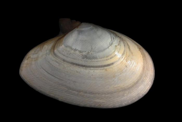 Tellina fabula Gmelin, 1791