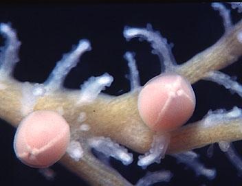 Sporosacs of Solanderia ericopsis