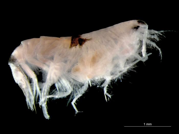 Synchelidium maculatum