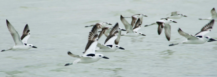 Crab plovers flying