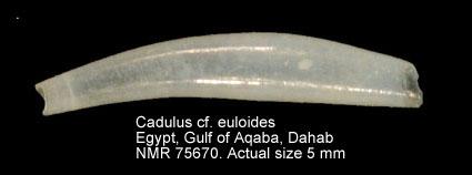 Cadulus euloides
