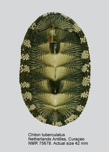 Chiton tuberculatus