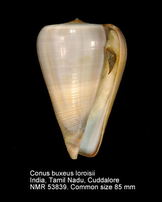 Conus buxeus loroisii