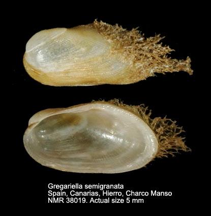Gregariella semigranata