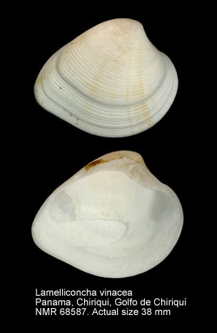 Lamelliconcha vinacea