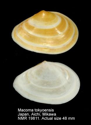 Macoma tokyoensis