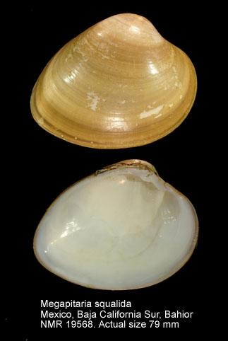 Megapitaria squalida